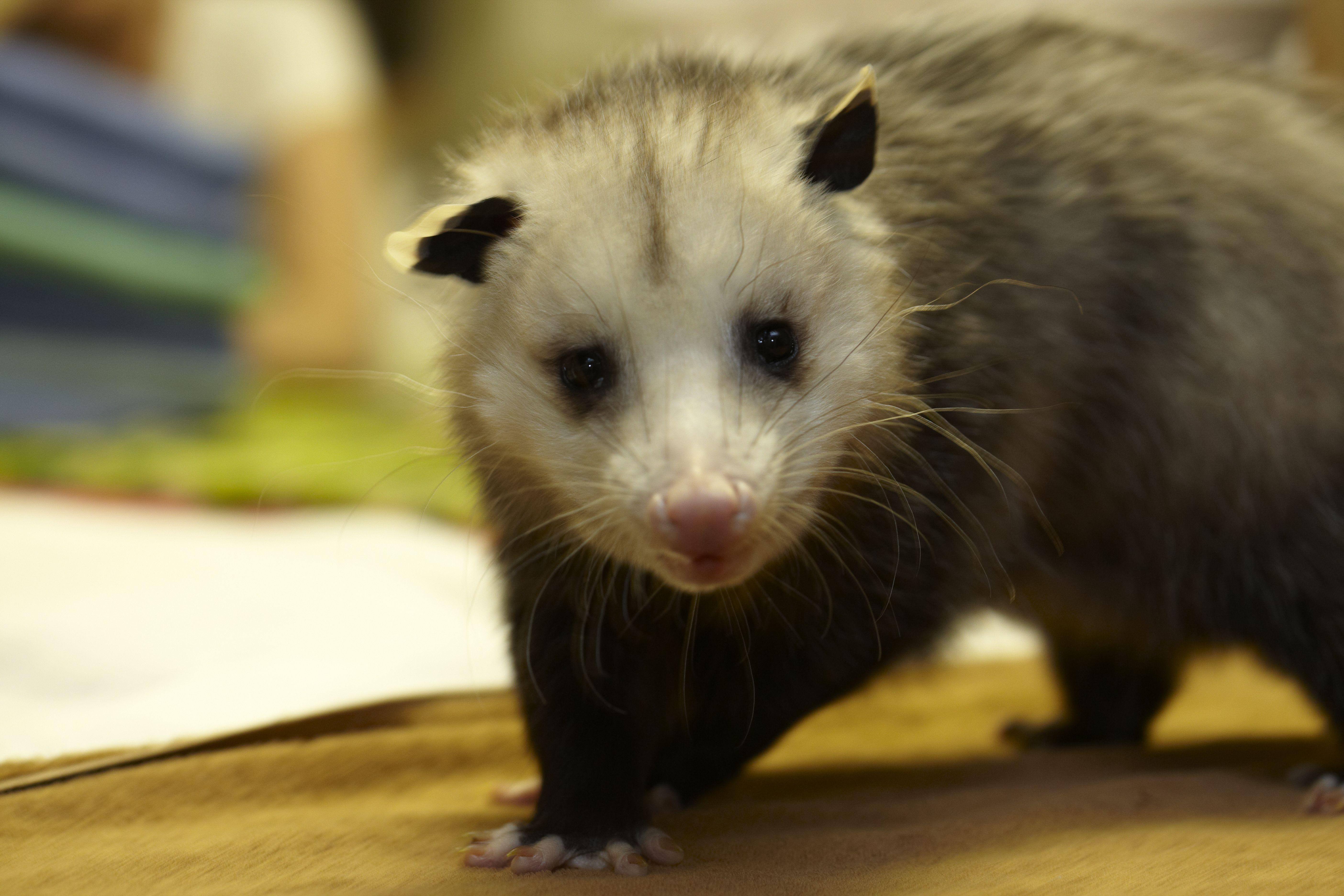 Opossum Carolina Wildlife Center